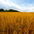 Oats  Fields - Stock Photo