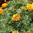 Stock Photo: AfricMarigold