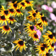 Black-eyed Susan — Stock Photo
