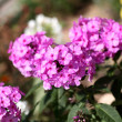 Garden phlox — Stock Photo #12023708