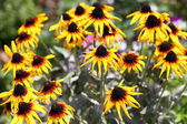 Rudbeckia hirta — Stock Photo