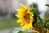 Sunflower and bumblebee — Stock Photo