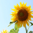 Stock Photo: Bright sunflower