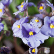 Violet Flowers — Stock Photo #10801212
