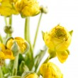 Yellow Ranunculus — Stock Photo #10804661