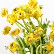 Yellow Ranunculus — Stock Photo #10807268