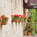 Beauty geranium outdoor — Stock Photo #10808135