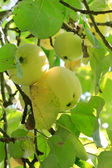 Green apples on a branch — Stock Photo