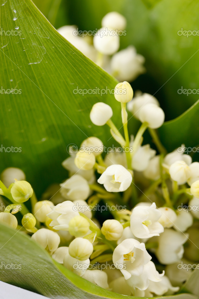 Lily-of-the-valley flowers — Stock Photo #10800170