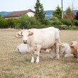 Stock Photo: White cows on the meadow