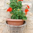 Beauty geranium outdoor — Stock Photo