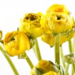 Yellow Ranunculus — Stock Photo #10929084