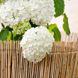 White Hydrangea in the pot - Stock Photo