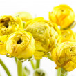 Yellow Ranunculus — Stock Photo #10929481