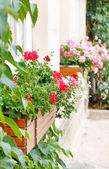 Beauty geranium outdoor — Stock Photo
