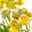 Yellow Ranunculus — Stock Photo #10930861