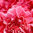 Stock Photo: Beautiful carnation flowers