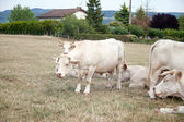 White cows on the meadow — Stock Photo
