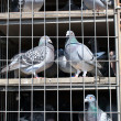 Doves in the coop - Stock Photo