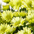 Chrysanthemum Flowers — Stock Photo #11639223