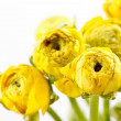 Yellow Ranunculus — Stock Photo #11639734