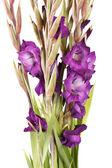 Gladiolus on the white — Stock Photo