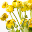 Yellow Ranunculus — Stock Photo #11643707