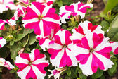 Petunia blossom — Stock Photo