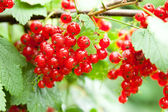 Ripe red currants — Stock Photo