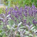 Lavender flowers — Stock Photo #11860162