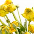 Yellow Ranunculus — Stock Photo #11861238