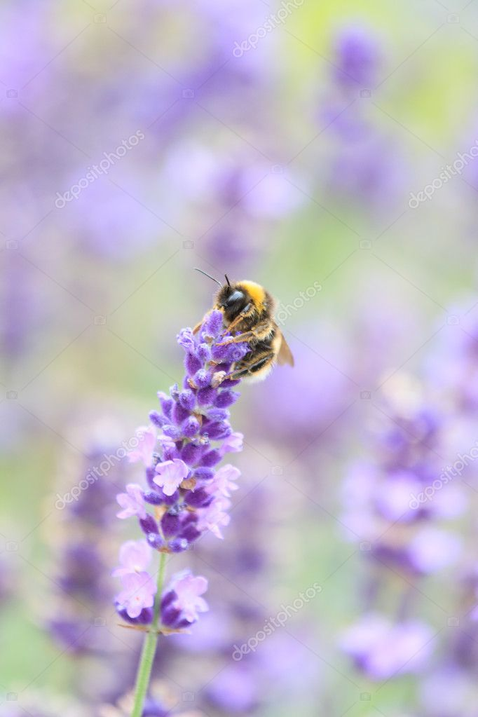 Lavender flowers — Stock Photo #11860794