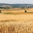 Fields of wheat - Stock Photo