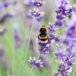 Lavender flowers — Stock Photo #11951008
