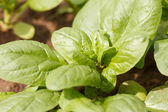 Spinach growing in the garden — Stock Photo