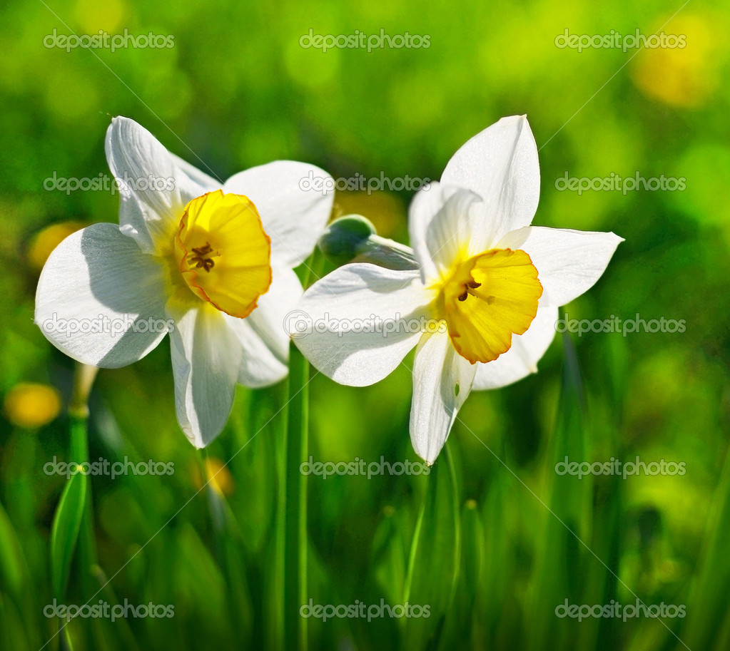 Flowers Narcissus  — Foto de Stock   #10751842