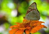 Butterfly on orange flower — Stock Photo