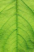 Primer plano de la hoja verde — Foto de Stock