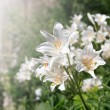 White Lilies — Stock Photo #11573360