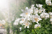 White Lilies — Stock Photo