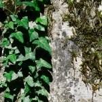 Постер, плакат: Green Ivy And Moss