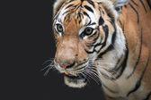 Retrato de tigre — Foto de Stock