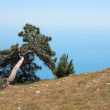 Pine On Mountain — Stock fotografie