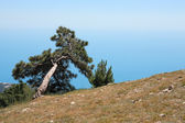 Pine On Mountain — Stock Photo
