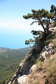 Pine On The Rock — Stockfoto