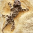 Ancient Lizard Fossil - Stock Photo