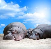 Su aygırı aile siesta — Stok fotoğraf