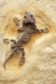 Ancient Lizard Fossil — Stock Photo