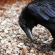 Stock Photo: Raven Closeup
