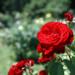 Roses In Park — Stock Photo #12319112